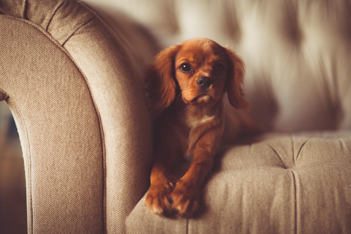 Companion Dog,Ear,Puppy Love
