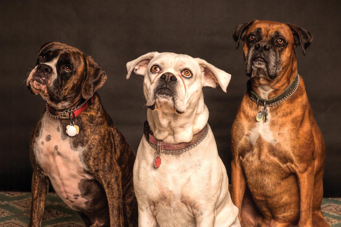 Carnivoran,Dog,Dog Breed