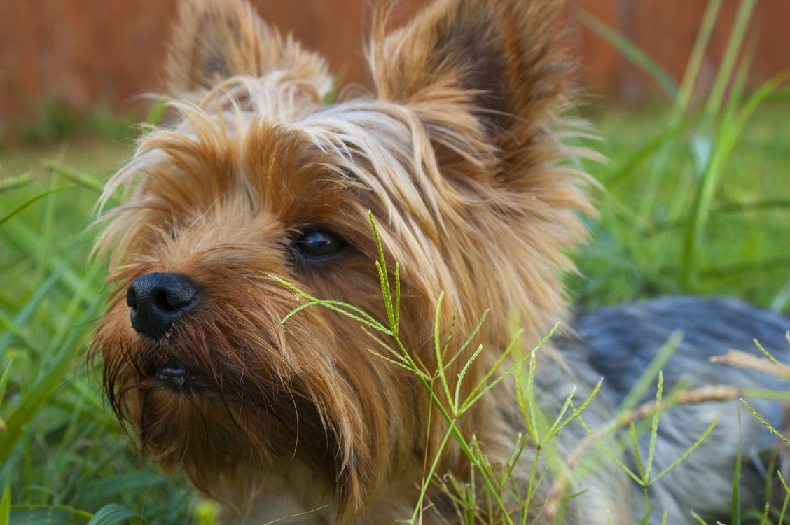 Small Terrier,Carnivoran,Yorkshire Terrier Background - Free