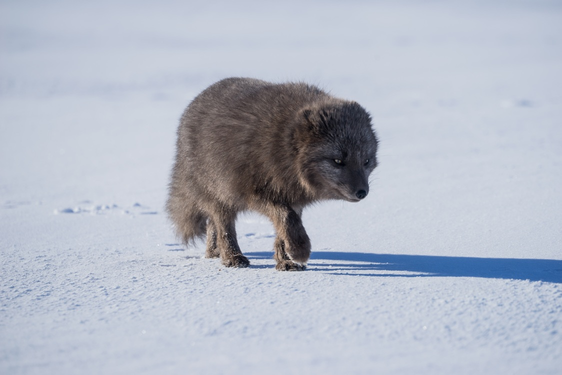 Canis Lupus Tundrarum,Arctic Fox,Wildlife