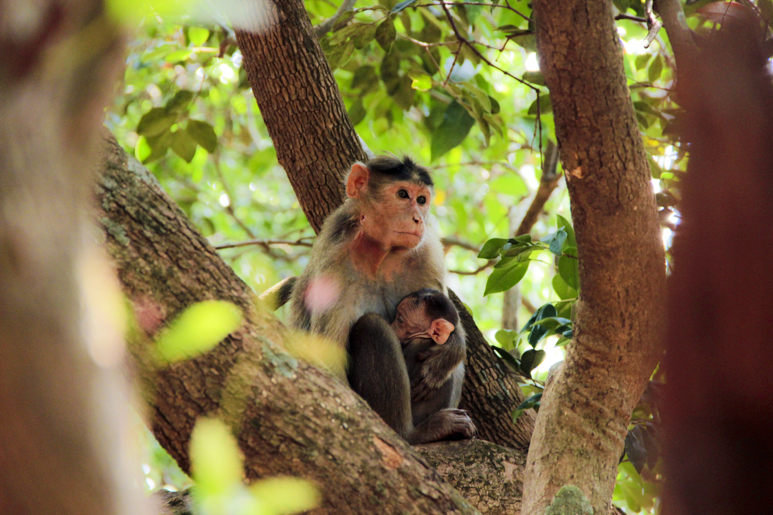 Macaque,Wildlife,Primate