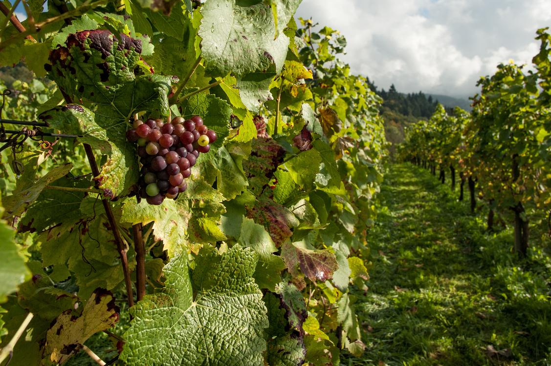 Grape,Grapevine Family,Vineyard