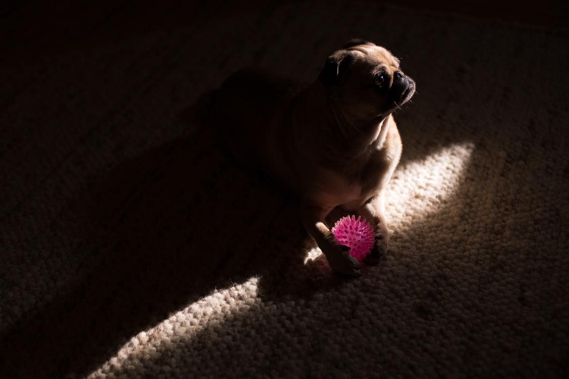Darkness,Carnivoran,Pug