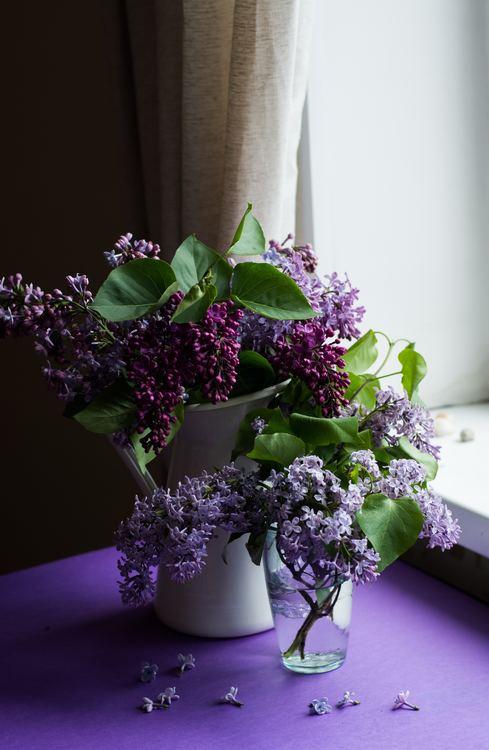 Miss Kim Lilac Nature Hills Nursery, Inc. Color Purple