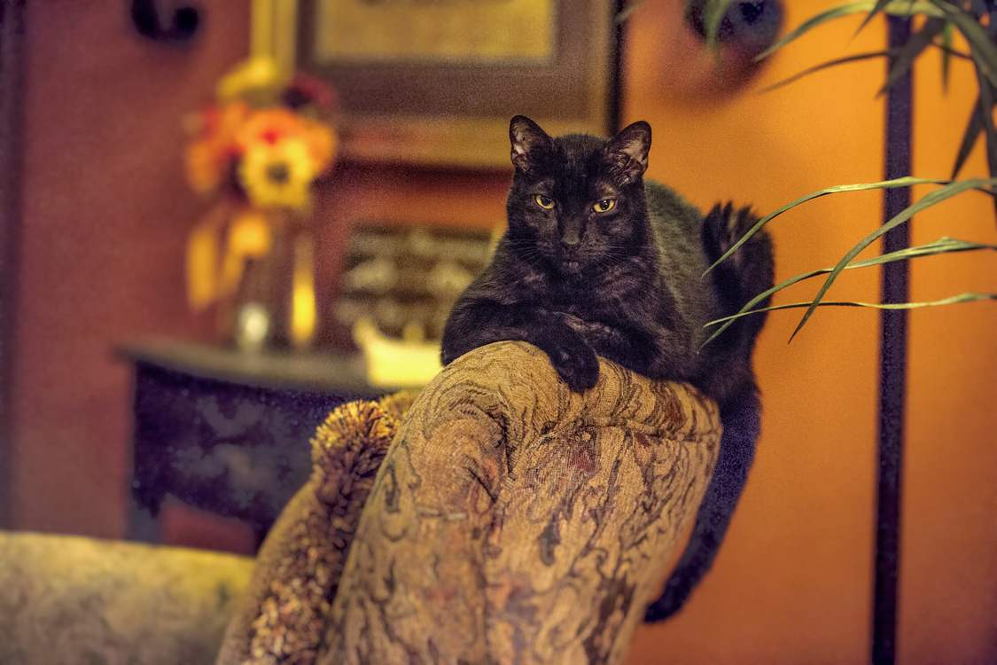 Black Cat,Small To Medium Sized Cats,Whiskers