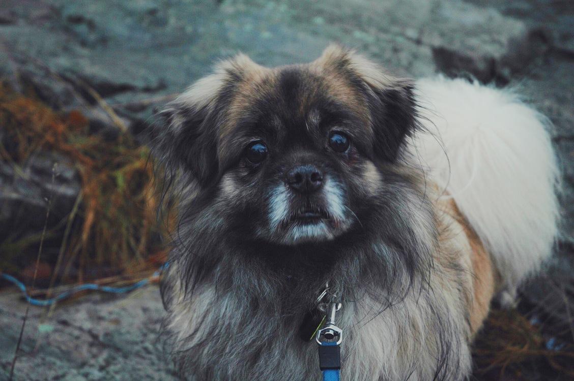 Companion Dog,Chinese Imperial Dog,Pekingese