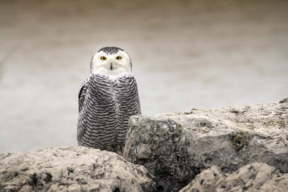 Owl,Wildlife,Bird Of Prey
