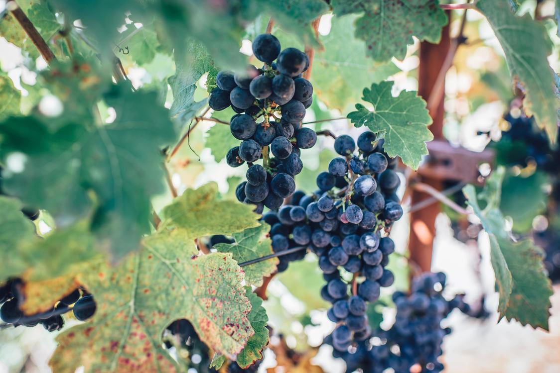 Seedless Fruit,Plant,Grape