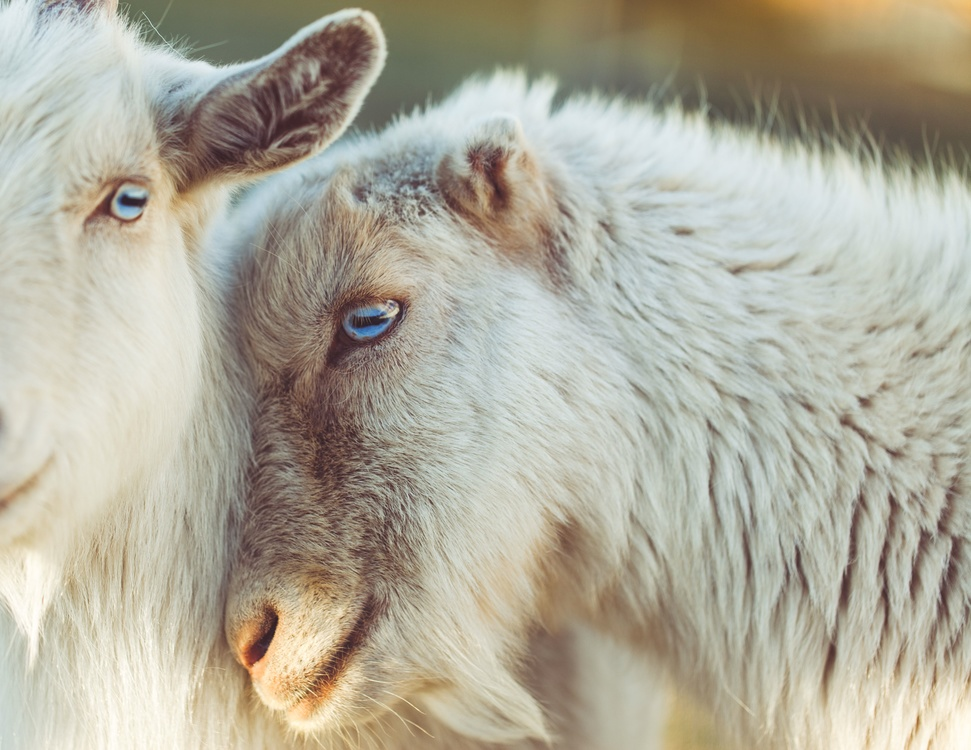 Sheep,Wildlife,Close Up
