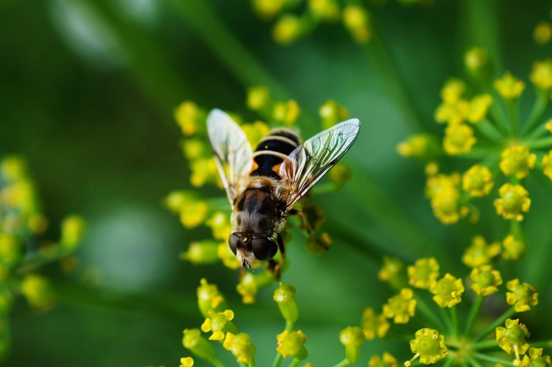 Fly,Pollen,Wildlife