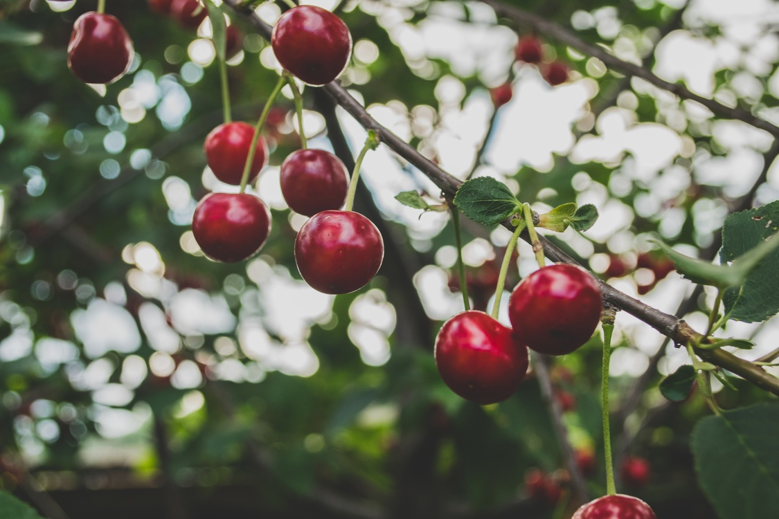 Malpighia,Plant,Lingonberry