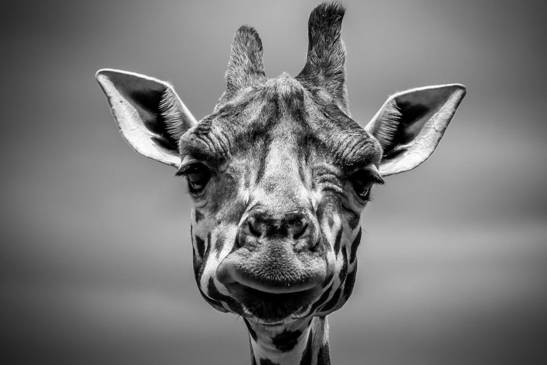 Giraffidae,Wildlife,Close Up