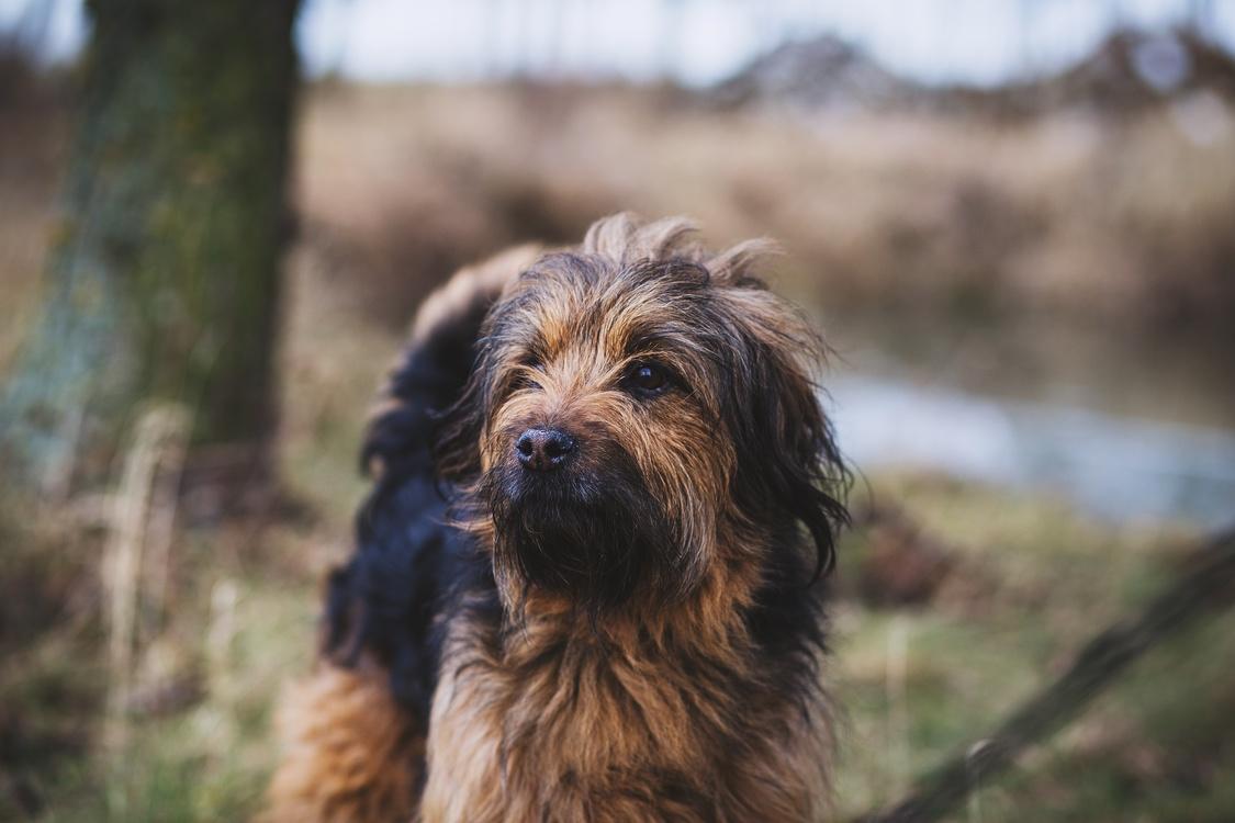 Companion Dog,Bosnian Coarse Haired Hound,Styrian Coarse Haired Hound