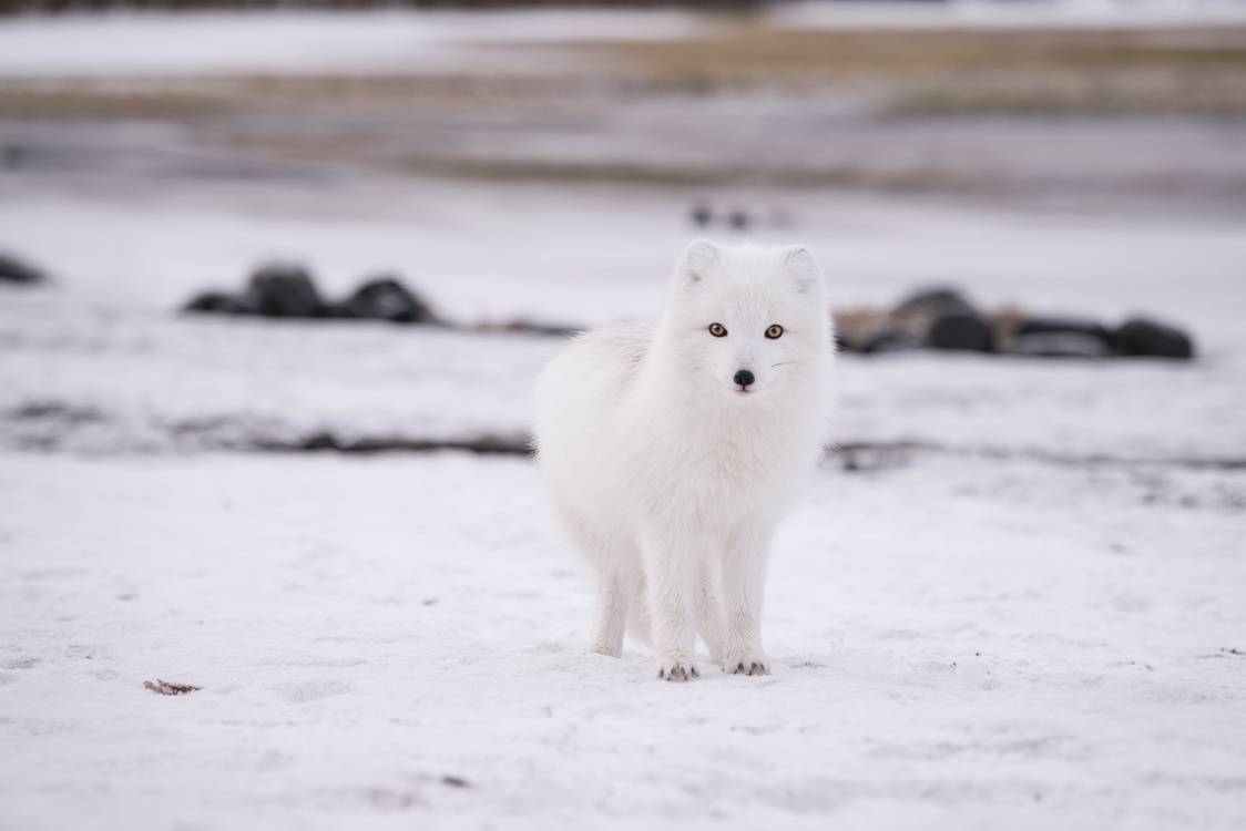 Japanese Spitz Greenland Dog Samoyed Dog Canadian Eskimo Dog