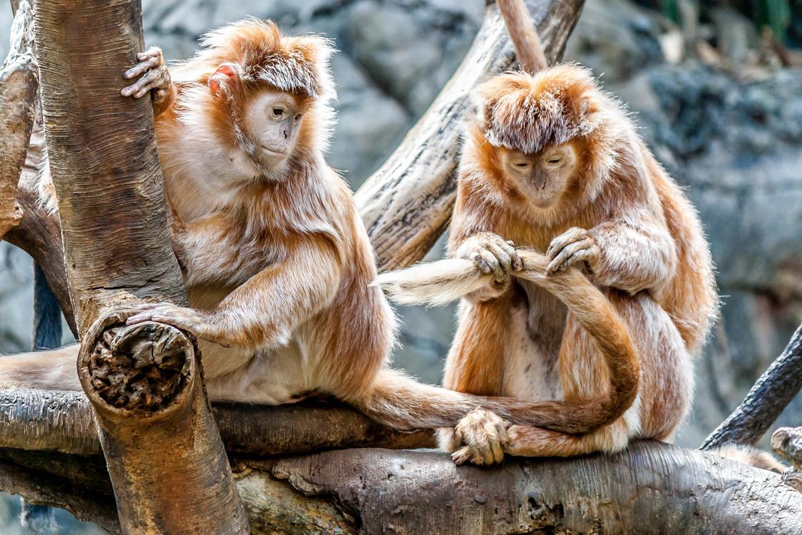 Macaque,Fur,Primate