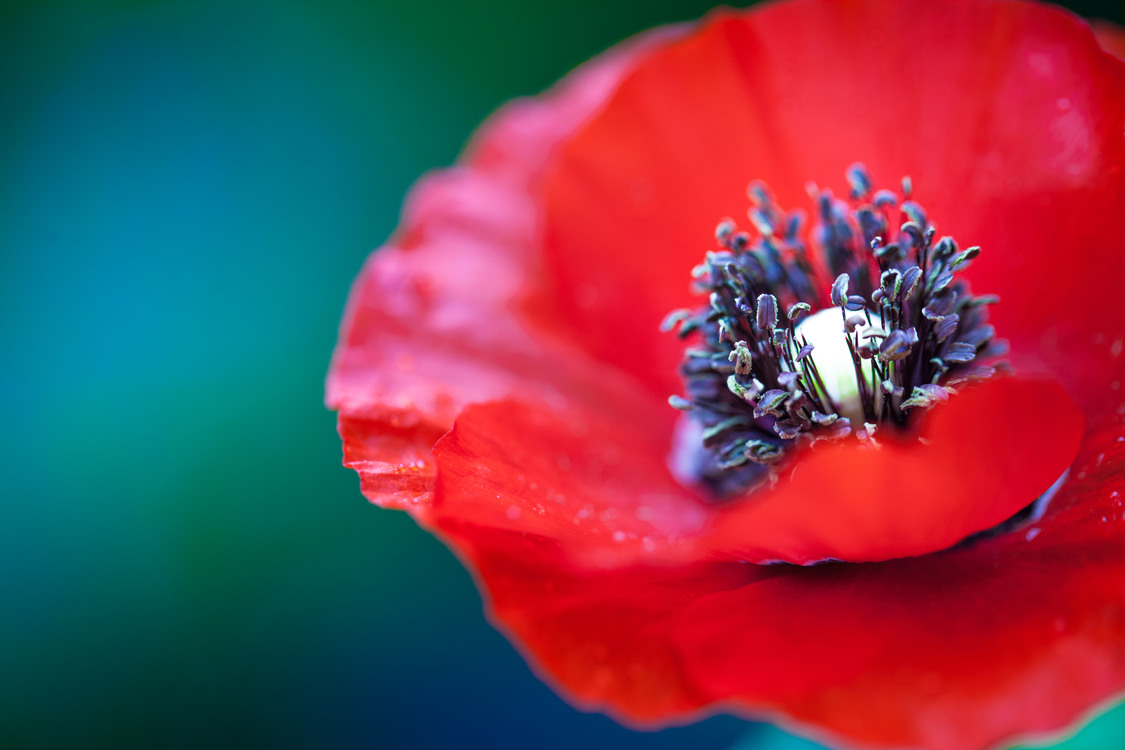 Pollen,Coquelicot,Plant