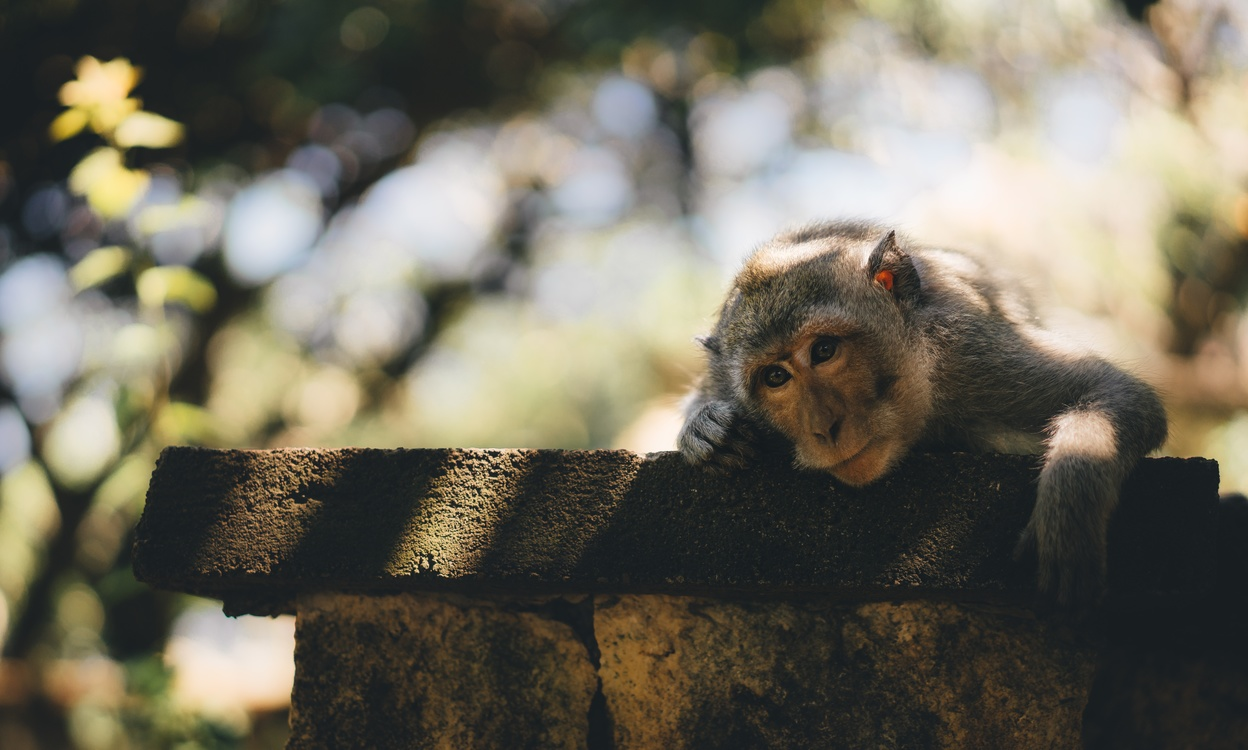 Wildlife,Primate,Old World Monkey