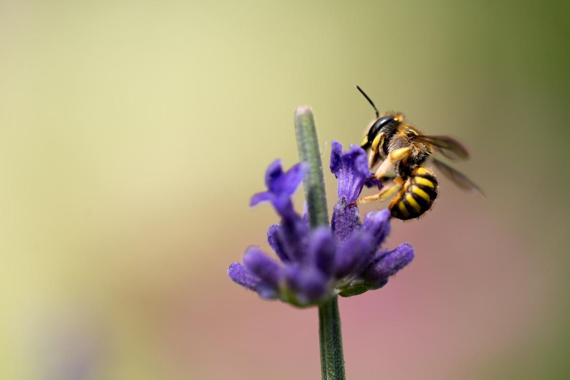 Pollen,English Lavender,Flora