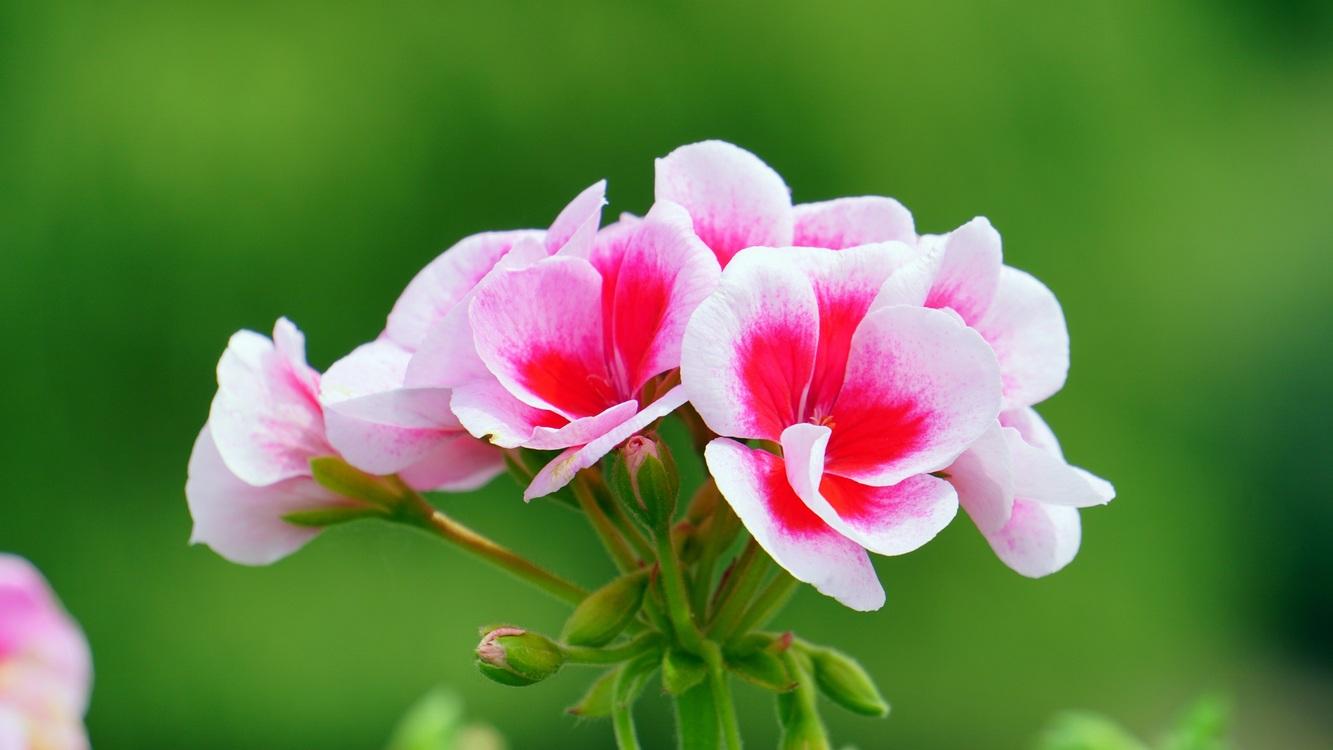 Pink Flowers Desktop Wallpaper Free Mobile Phones Free Images