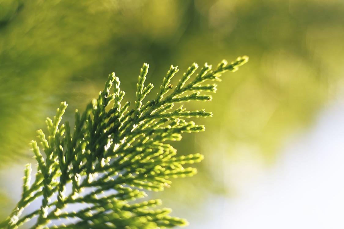 Evergreen,Pine Family,Grass Family