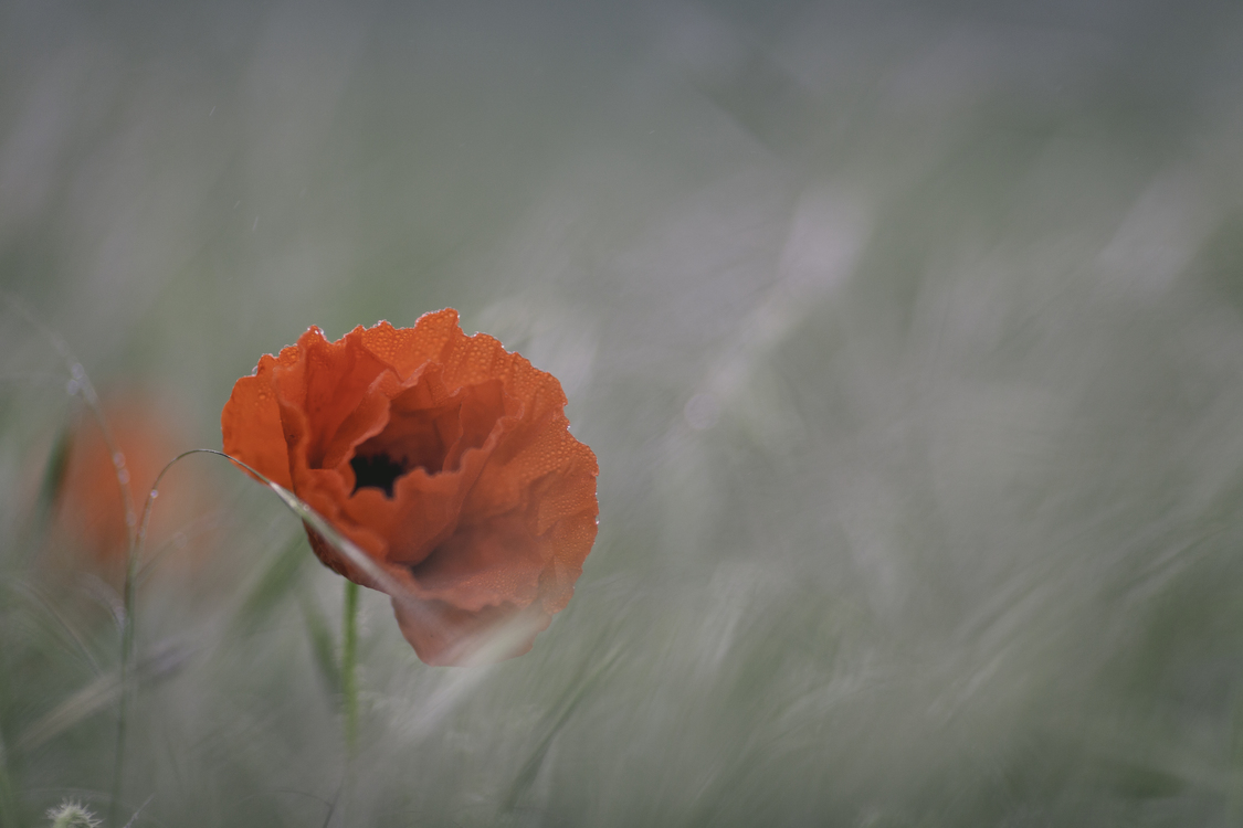 Poppy Flower Marlborough Sounds Anzac Day Fairy Tale Free Images