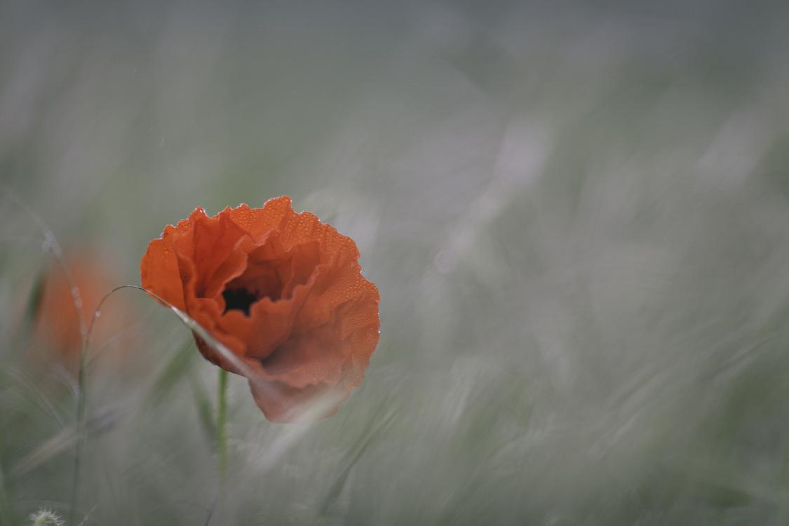 Poppy flower marlborough sounds anzac day fairy tale free images poppy flower marlborough sounds anzac day fairy tale mightylinksfo
