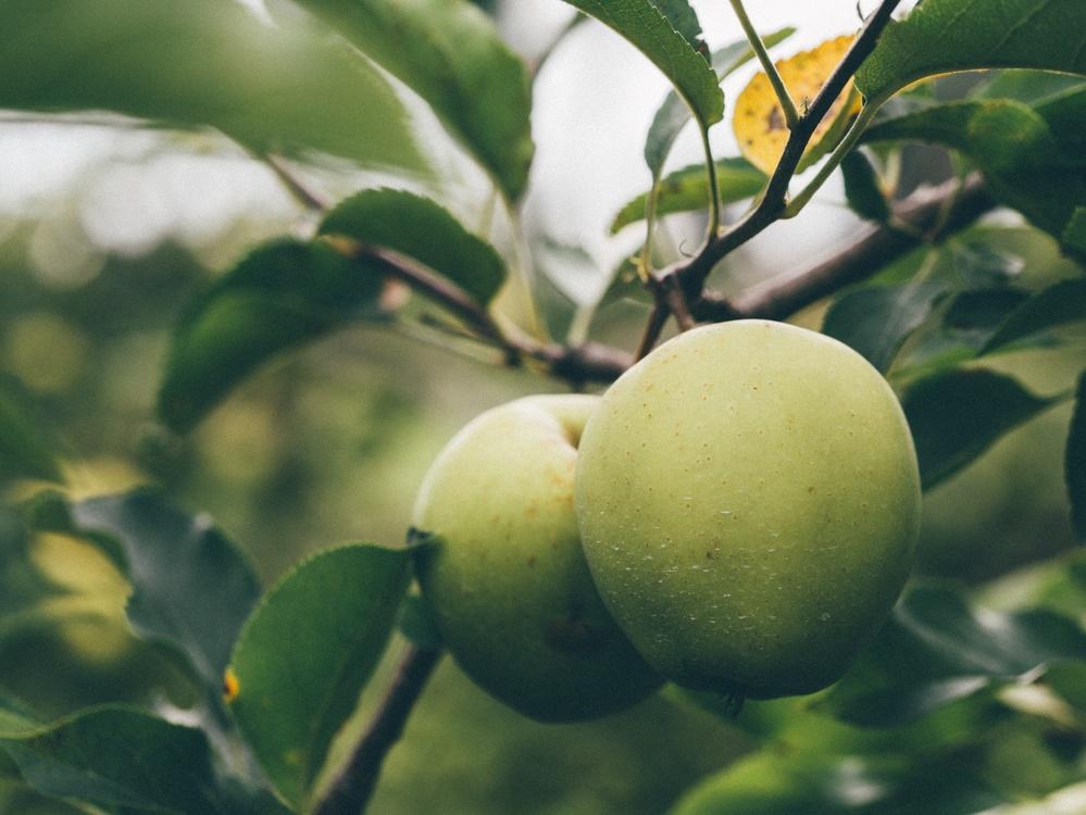 Ebony Trees And Persimmons,Tree,Plant