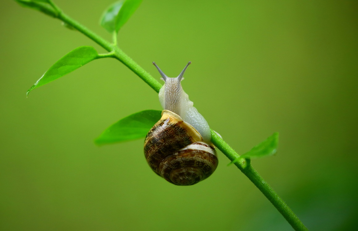 Snail,Macro Photography,Invertebrate