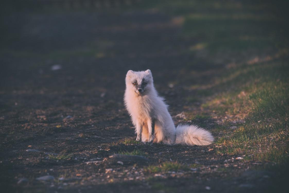 Arctic Fox,Wildlife,Sky