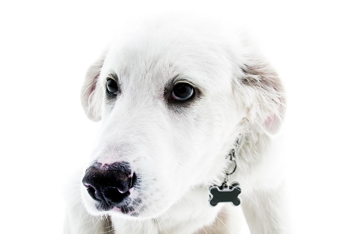 dog breed puppy akbash dog kuvasz pet sitting free images download