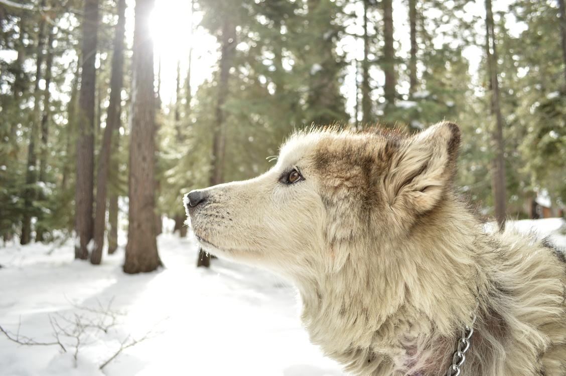 Dog Breed,Saarloos Wolfdog,Icelandic Sheepdog