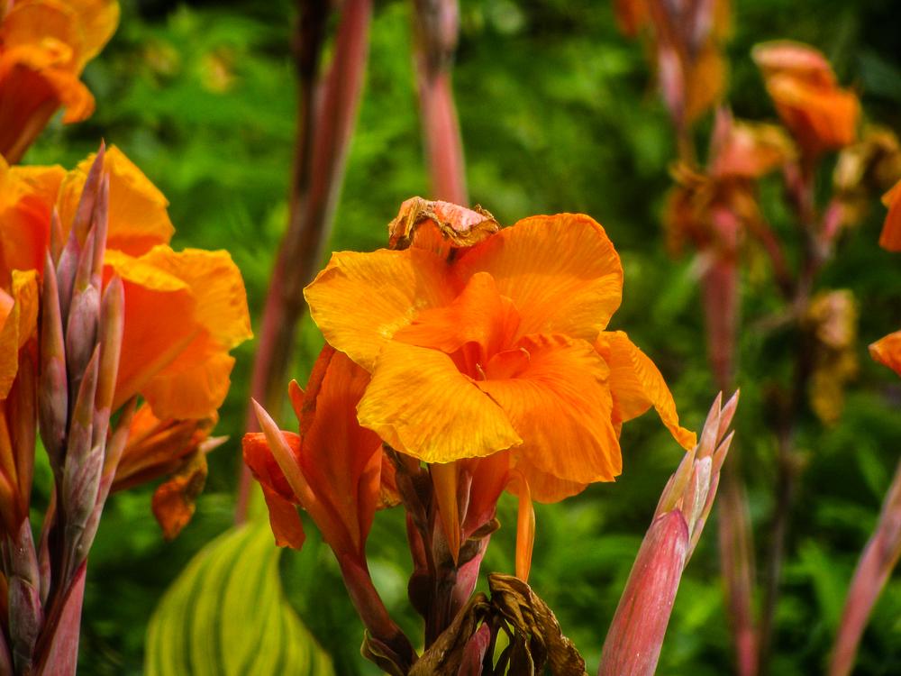 Canna Flora Botany Orange Wildflower