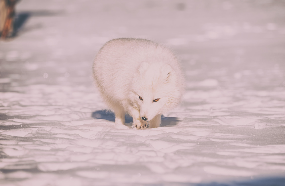 Arctic Fox,Wildlife,Winter