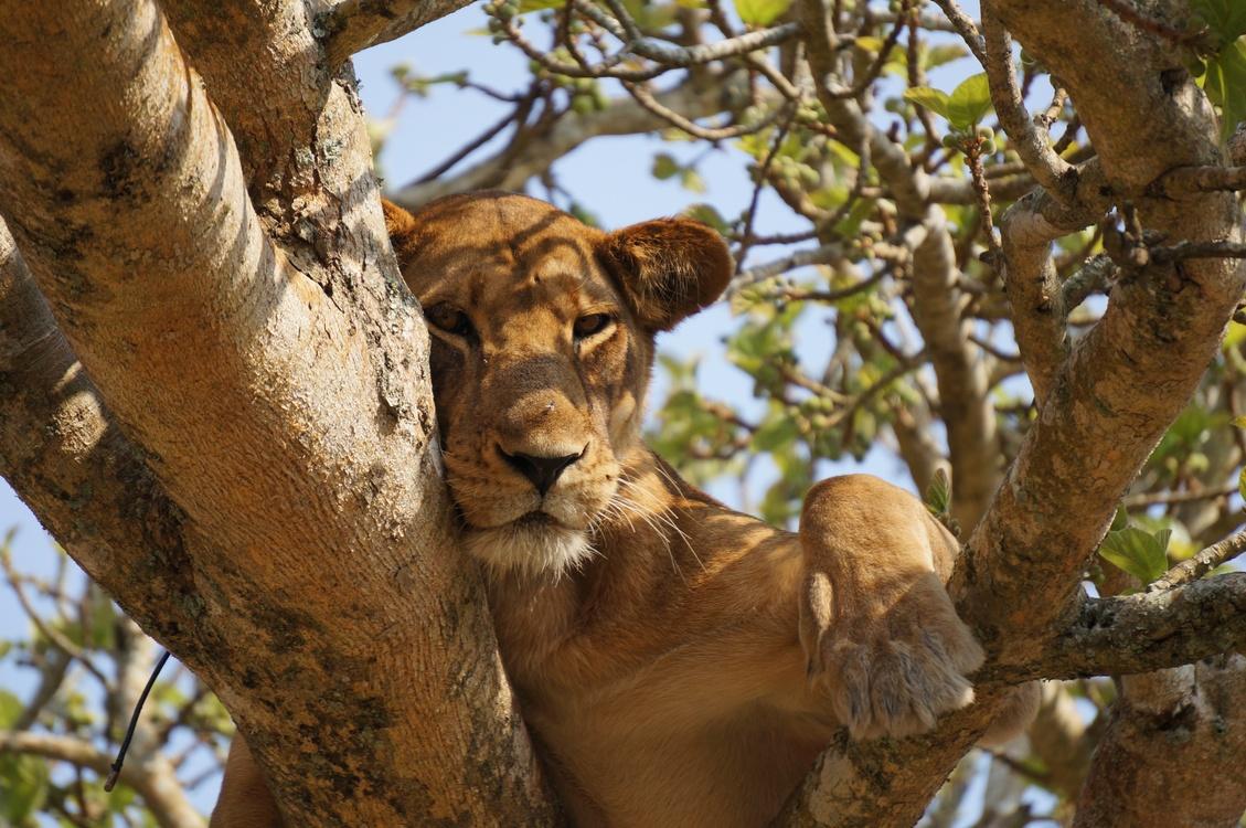 Wildlife,Big Cats,Carnivoran