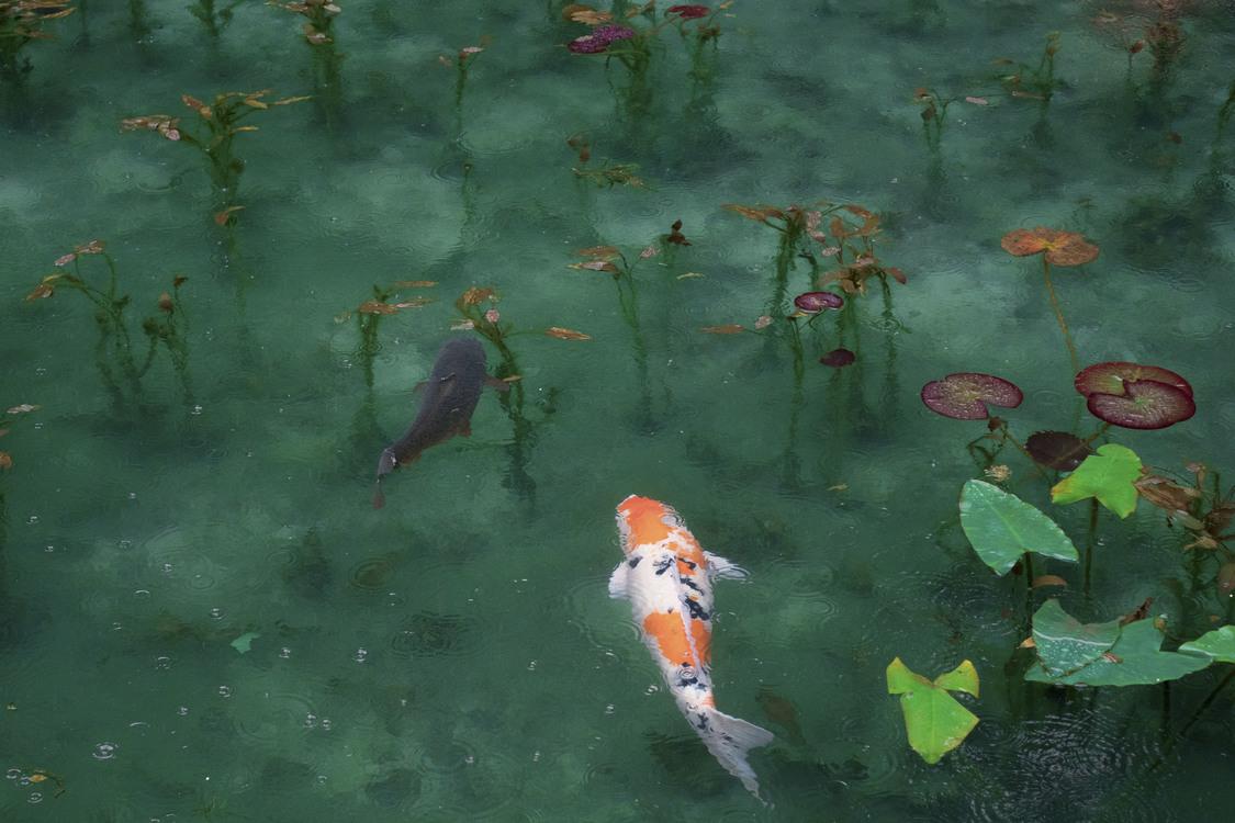 Koi,Underwater,Feeder Fish