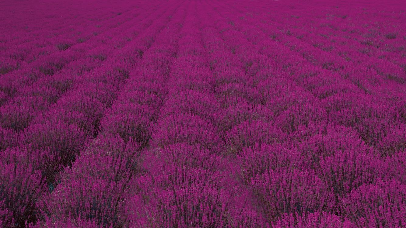 Grass Family,Flower,English Lavender