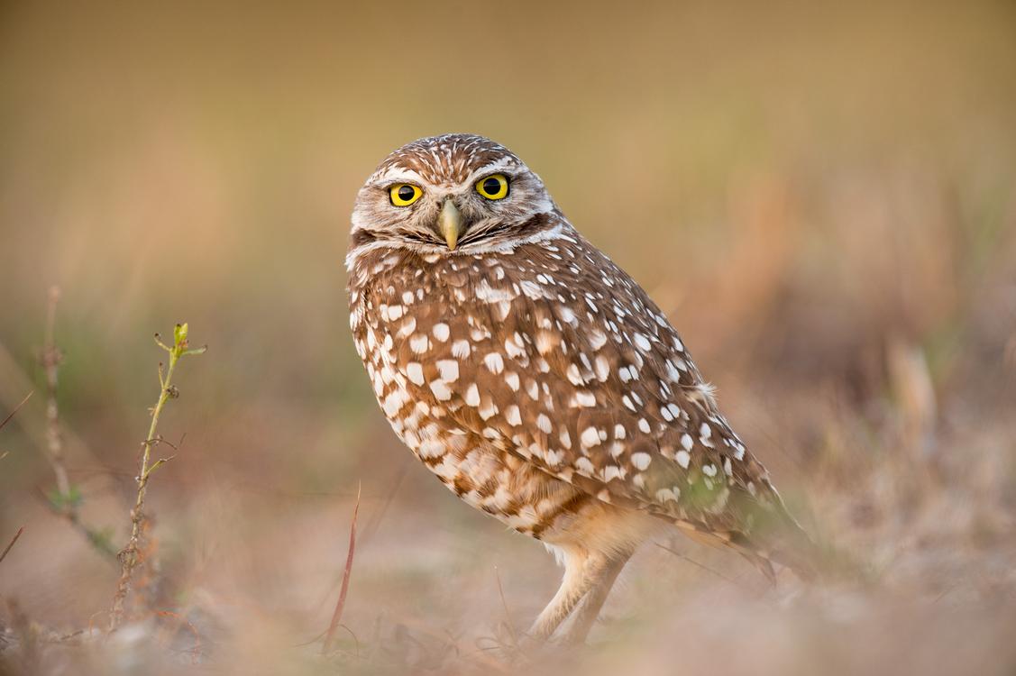 Owl,Wildlife,Ecosystem