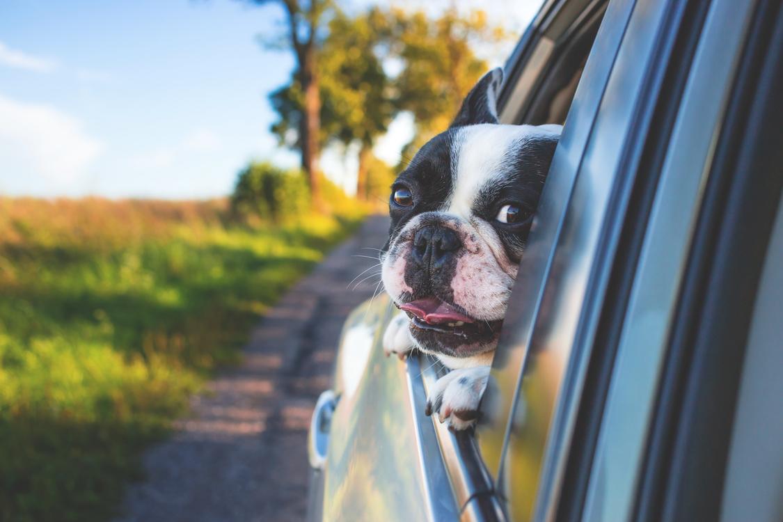Boston Terrier,Carnivoran,Vehicle