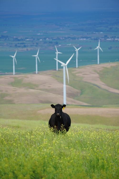 Windmill,Grass Family,Prairie