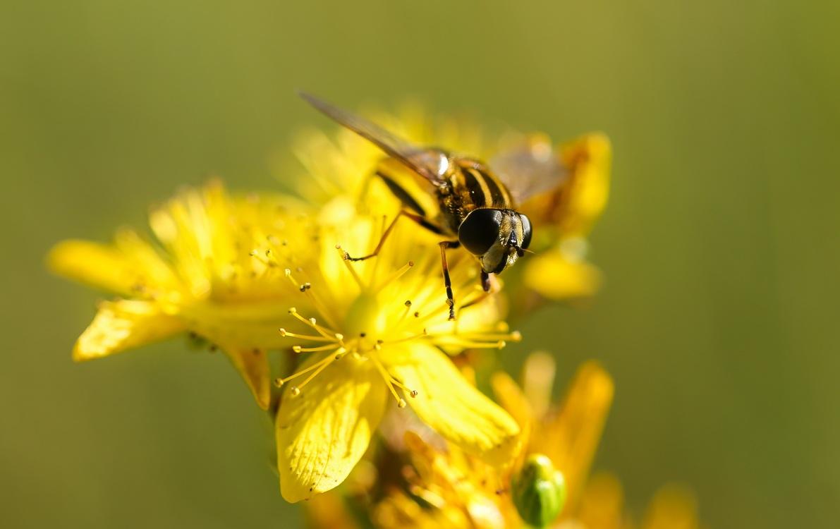 Pollen,Fly,Wildlife