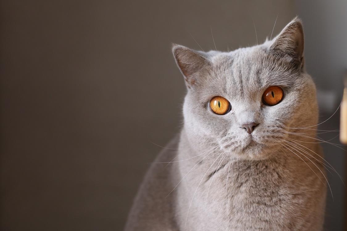 Domestic Short Haired Cat,Australian Mist,Close Up