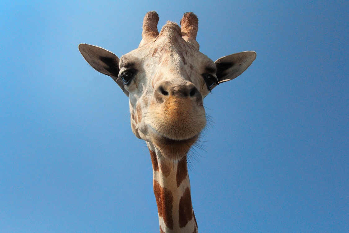 Giraffidae,Wildlife,Neck