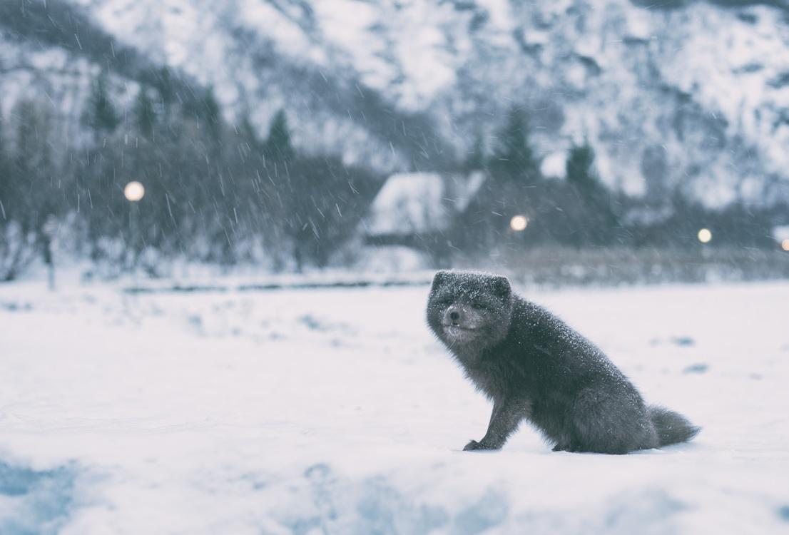 Mountain,Wildlife,Winter