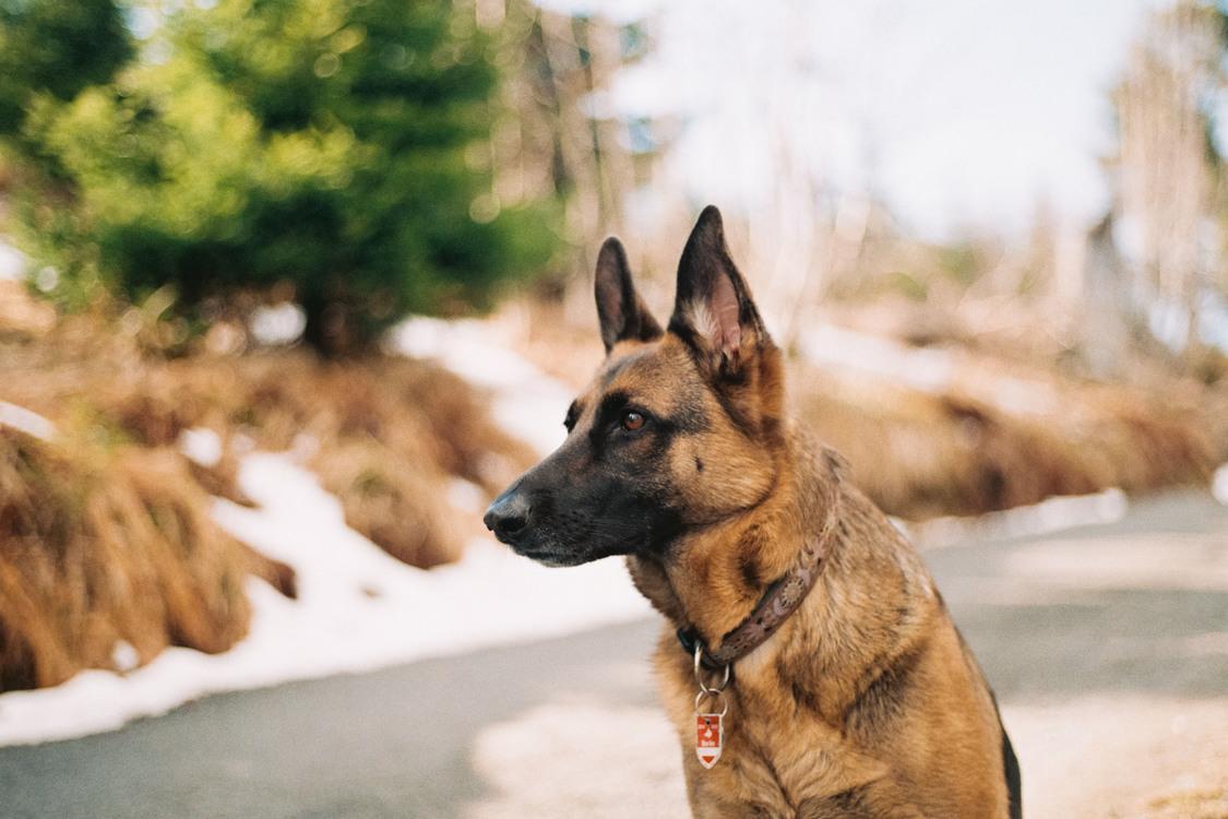 Belgian Shepherd Malinois,German Shepherd Dog,Old German Shepherd Dog