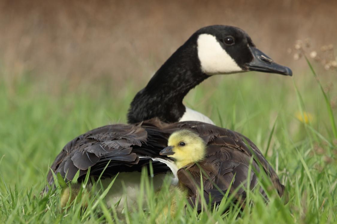 Water Bird,Duck,Terrestrial Animal