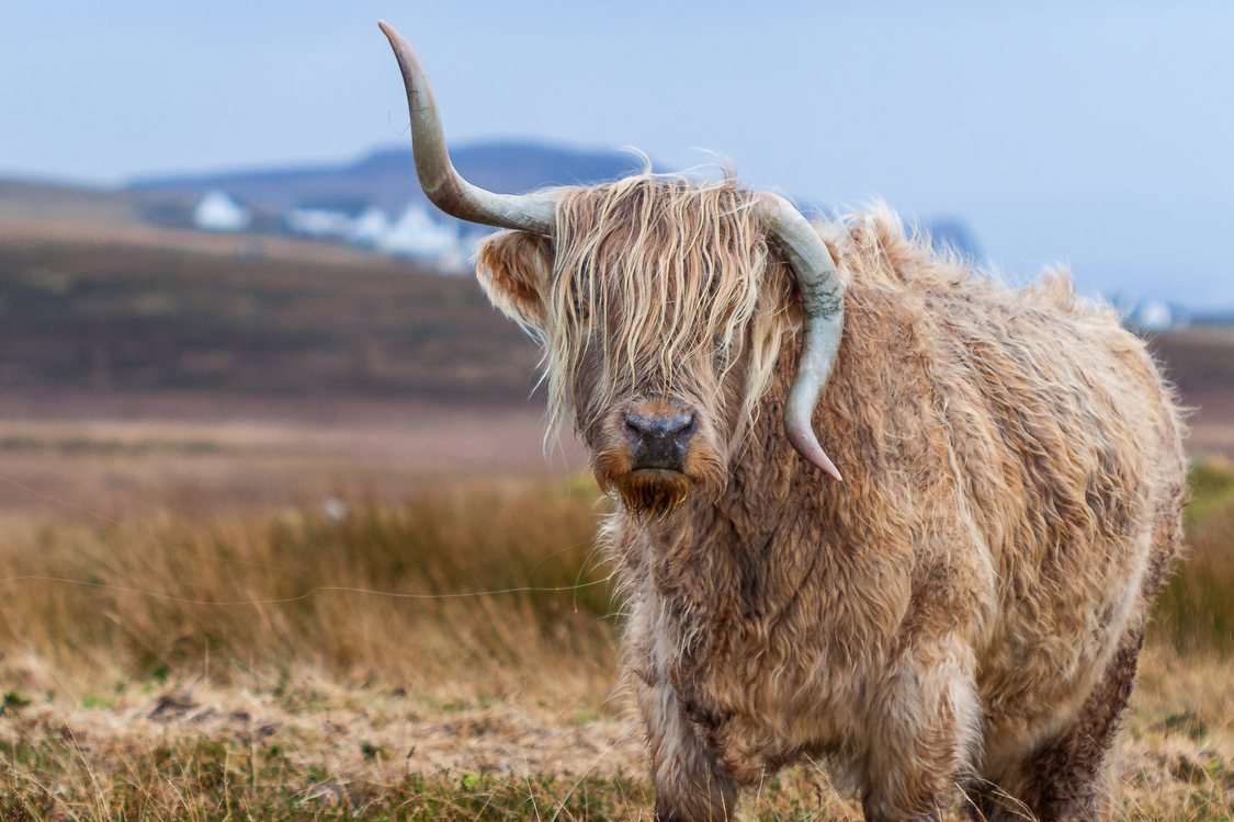 Wildlife,Highland,Livestock