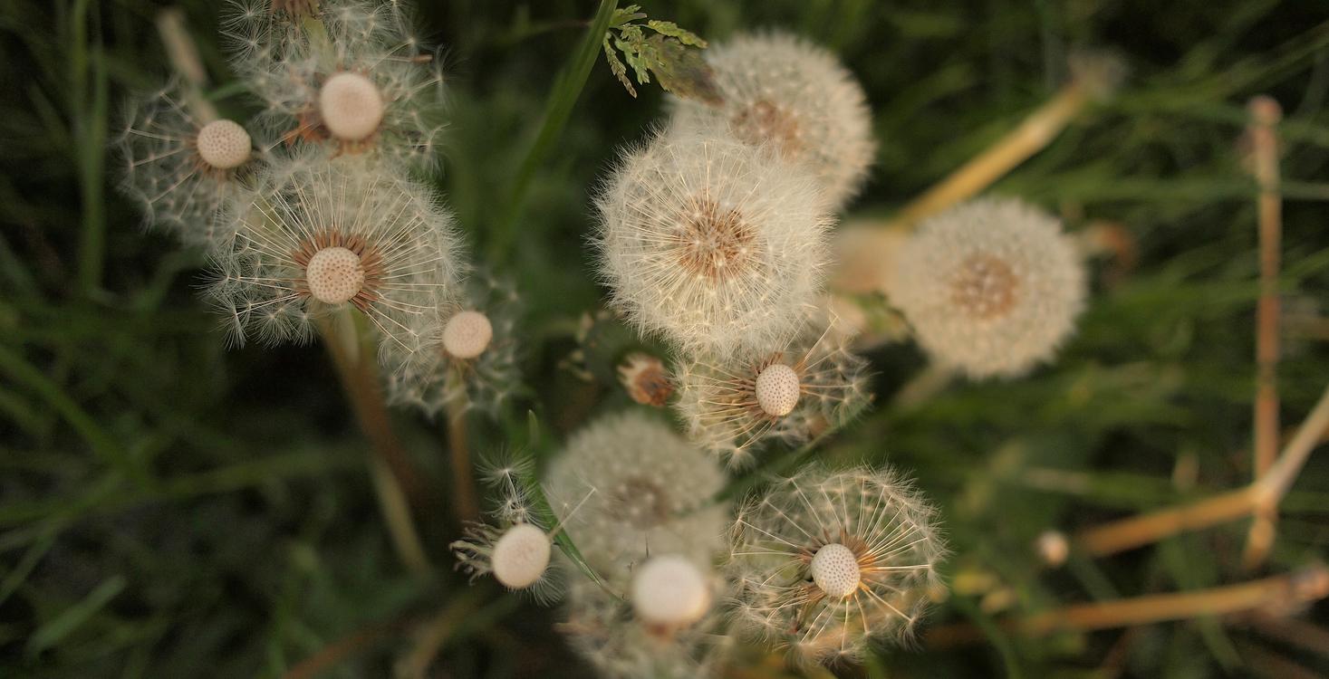 Plant,Flora,Dandelion