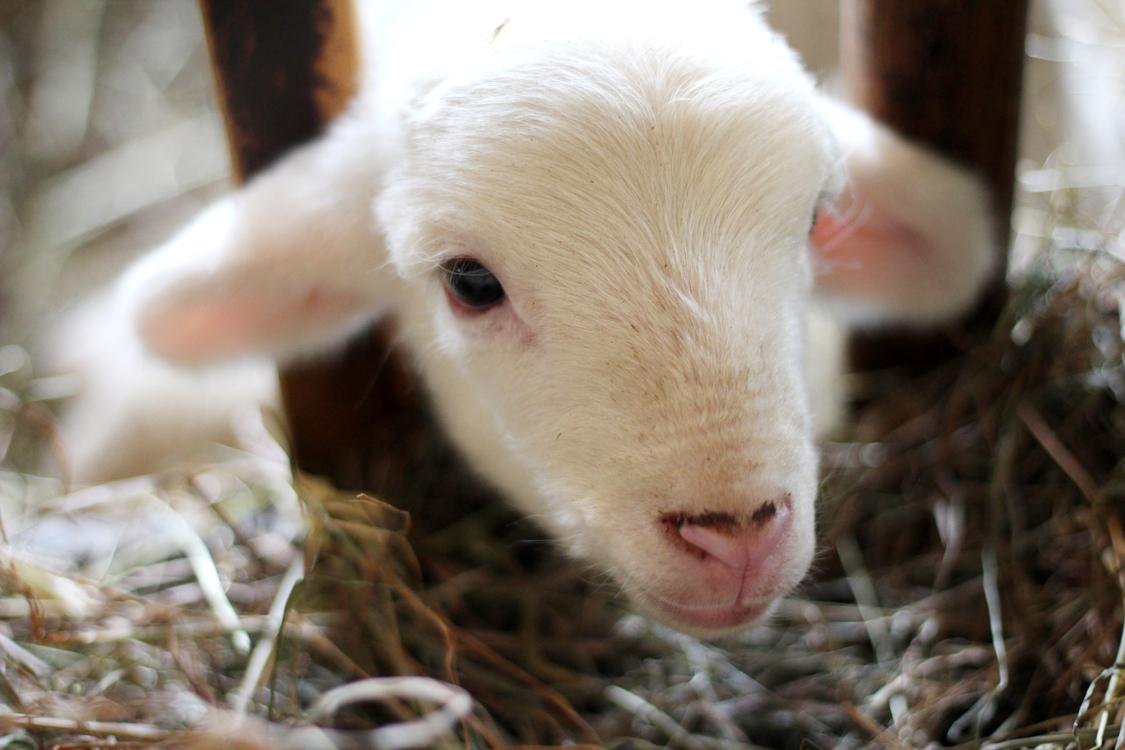Sheep,Goat Antelope,Livestock