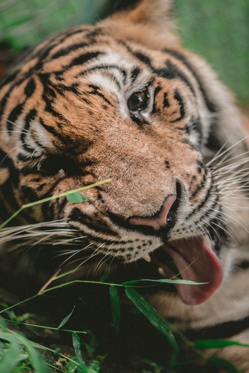 Bengal tiger Whiskers Download Wildlife