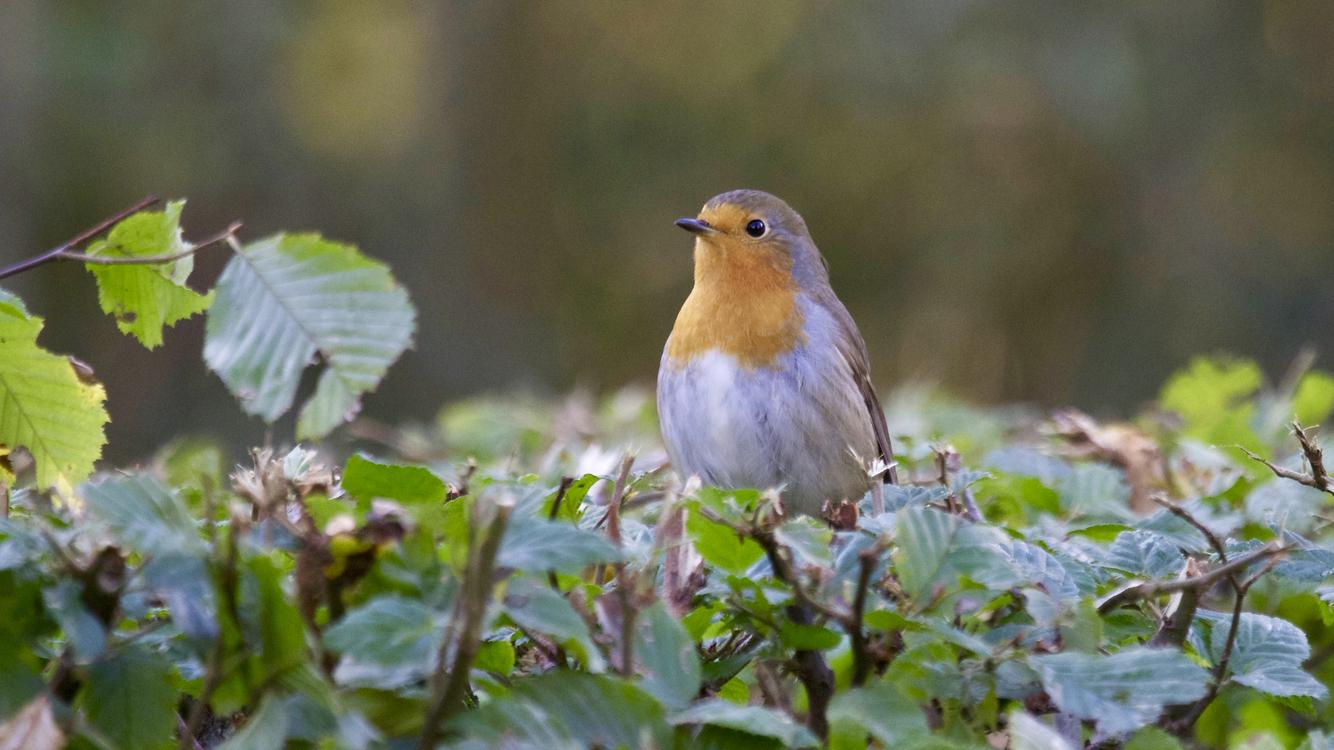 Perching Bird,Wildlife,Old World Flycatcher